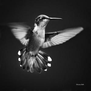 Black and White Hummingbird Prints